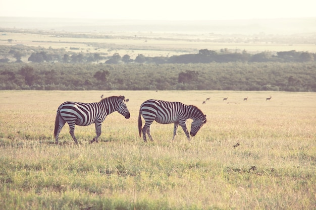 Зебры африканских равнин на сухих коричневых лугах саванн просматривают и пасутся.