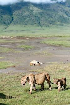 ンゴロンゴロ国立公園のアフリカの捕食者、雌ライオンとライオンの子。