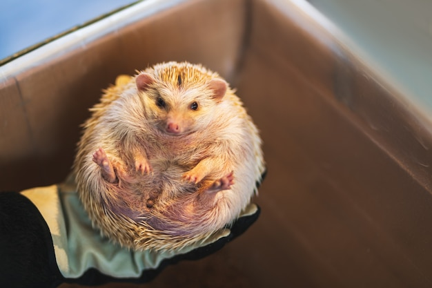 African pygmy hedgehog on hand in exotic pet cafe at tokyo japan