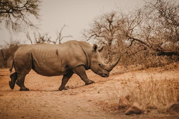 African rhino in a safari park