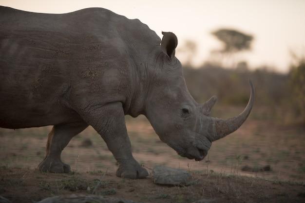 Rinoceronte africano che cammina sul campo con uno sfondo sfocato
