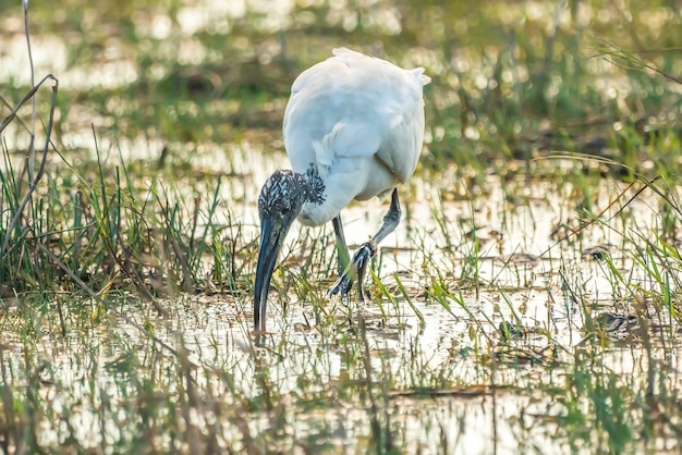 African sacred ibis (threskiornis aethiopicus) escaped from a zoo of france in the natural park of the marshes of ampurdã¡n, girona, catalonia, spain.