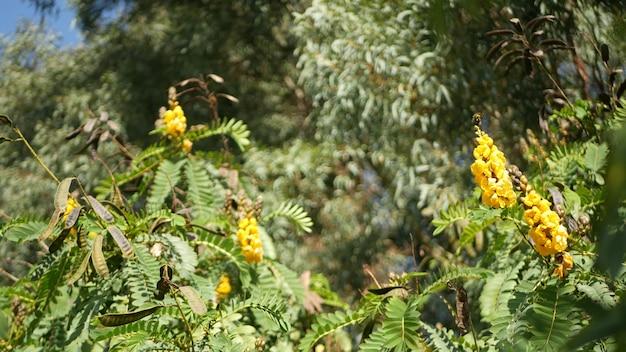 Цветок африканской сенны, садоводство в калифорнии, сша. естественный ботанический конец вверх фон. желтое цветение в весеннем утреннем саду, свежая весенняя флора в мягком фокусе. подсвечник сочный завод.