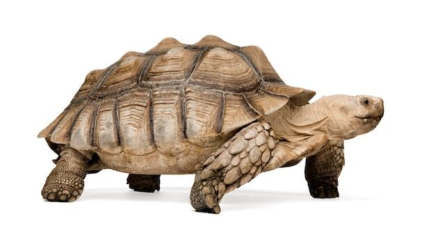 Африканская шпороновая черепаха, также известная как африканская черепаха бедра шпоры - geochelone sulcata на белом, изолированные