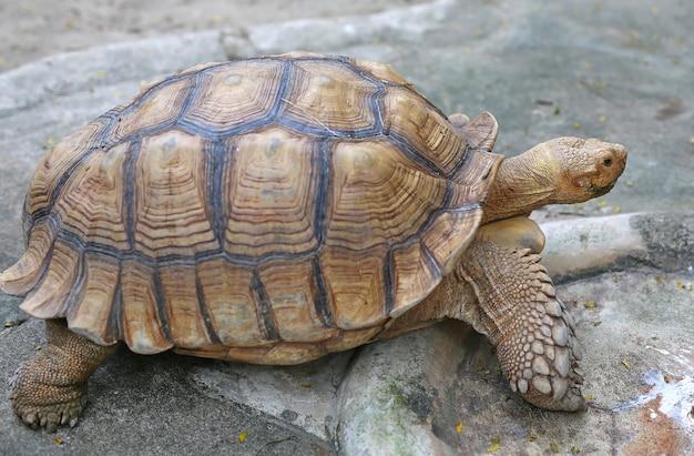 African spurred tortoise in the garden