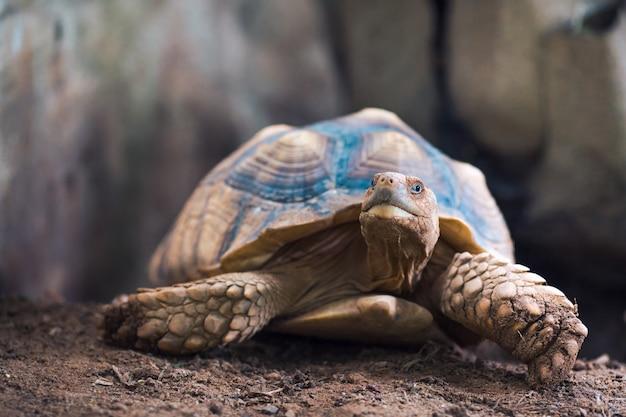 African spurred tortoise (geochelone sulcata)