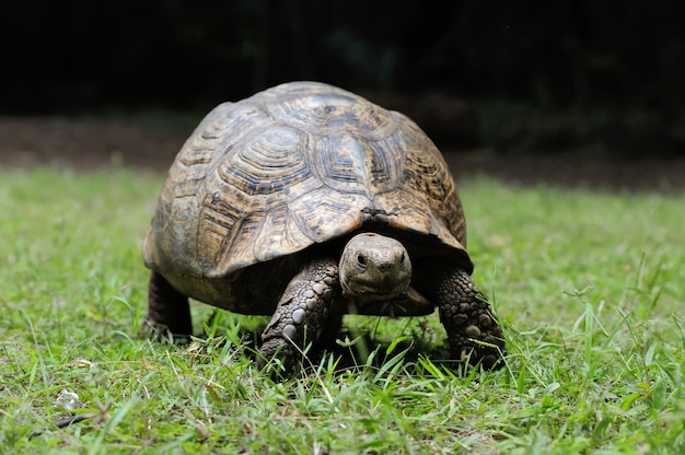 African spurred tortoise in the grass