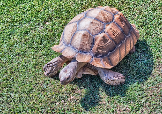 African spurred tortoise on grass