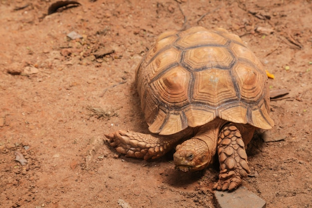 African spurred tortoise (sulcata tortoise) inhabits southern edge of the sahara desert, i