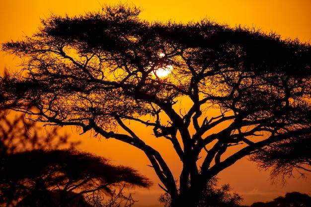 ケニアのマサイマラ国立公園のアカシアの木とアフリカの夕日。