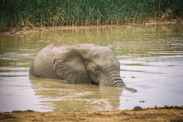 African swimming and washing himself in addo national park, south africa