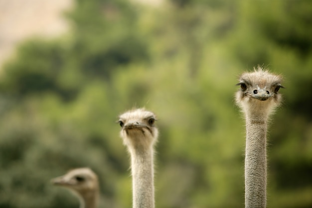 African three ostrich portrait, funny family
