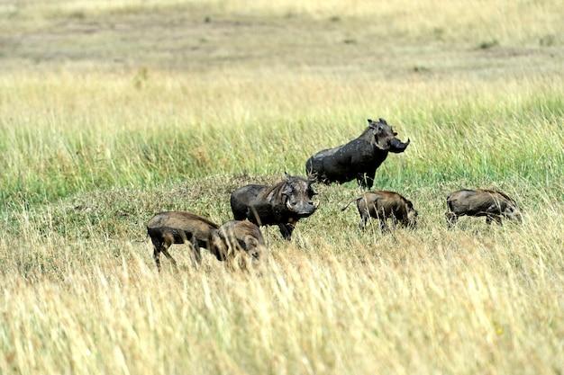 Африканский бородавочник в естественной среде обитания. кения. африка.