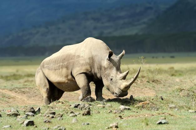 Африканский белый носорог в саванне