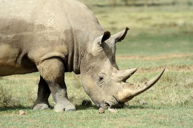 Африканский белый носорог, озеро накуру, кения