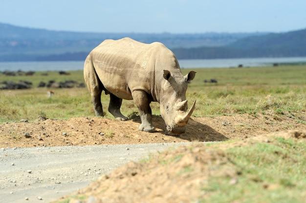 Африканский белый носорог, озеро накуру. национальный парк, кения, кения