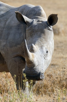 アフリカのシロサイ、ケニアの国立公園