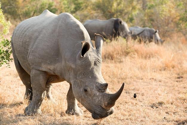 남아프리카의 사파리에 큰 경적을 가진 아프리카 흰 코뿔소