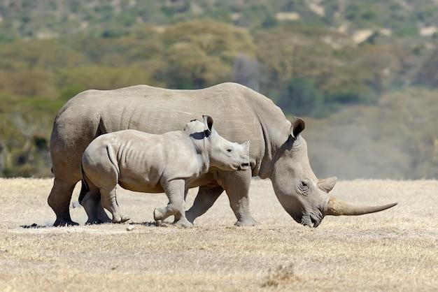 Африканский белый носорог