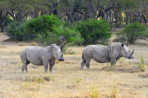 Африканские белые носороги в саванне