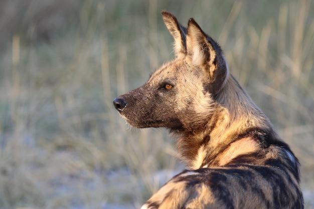 Африканская вильская собака