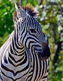 自然の生息地にいるアフリカのシマウマケニア。ナクル公園。