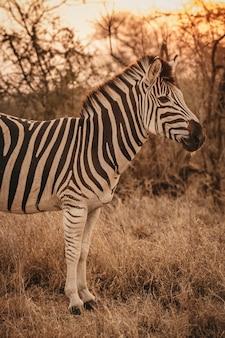 African zebra in a safari park
