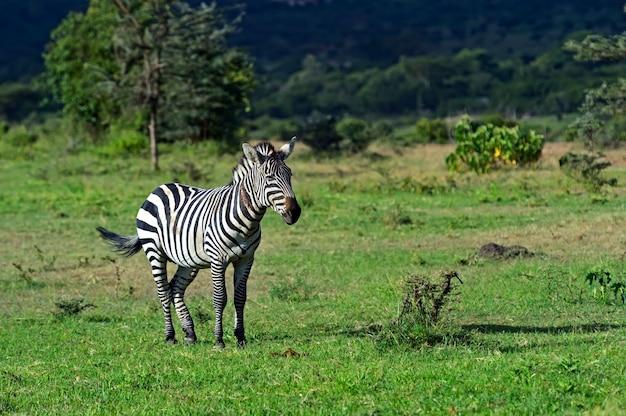 Африканские зебры в национальном парке амбосели. кения