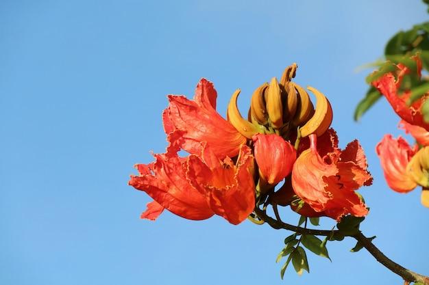 Africomチューリップツリー。夏の澄んだ青い空に咲く美しいオレンジ色の花。自然のコンセプト。