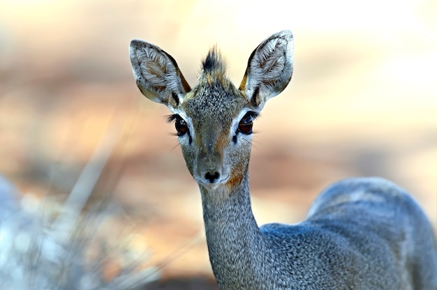 Afrikanskfydik-その自然の生息地にある野生のヤギ。ケニア。
