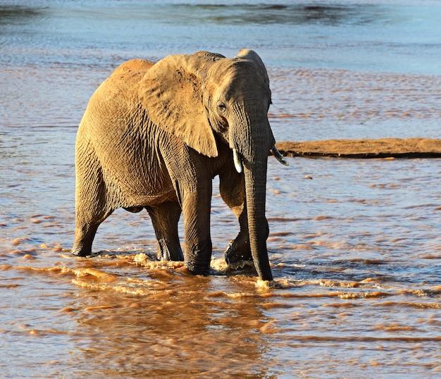 自然の生息地にいるafrikanskfy象。ケニア。