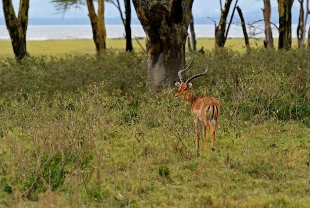 自然の生息地にあるafrikanskfygazelleimpala。ケニア。