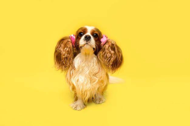 ペットグルーミングサロンの後、雌犬がパーティーに集まりました。耳は尾に編まれています。ユーモアの写真。コンセプトポートレートキャバリアキングチャールズスパニエル