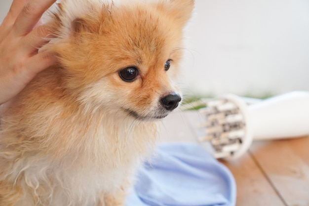 After pet shower, pomeranian or small dog breed looking on something