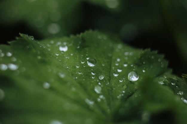 После дождя капли воды на зеленых листьях на фоне узора сада, блеск капель на поверхности листьев, цвет dark flat lay естественный фон для ввода текста.