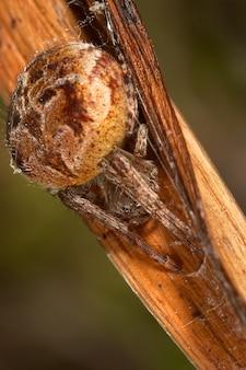 クモ(agalenatea redii)