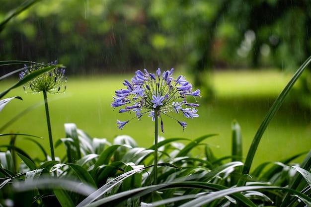 Agapanthus praecox, blue lily flower during tropical rain, close up
