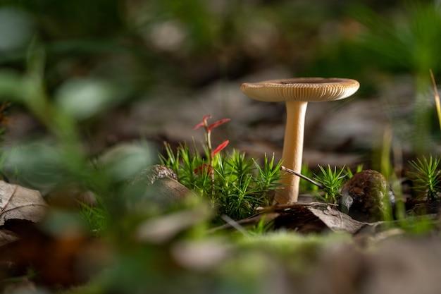 Agaricus гриб и трава