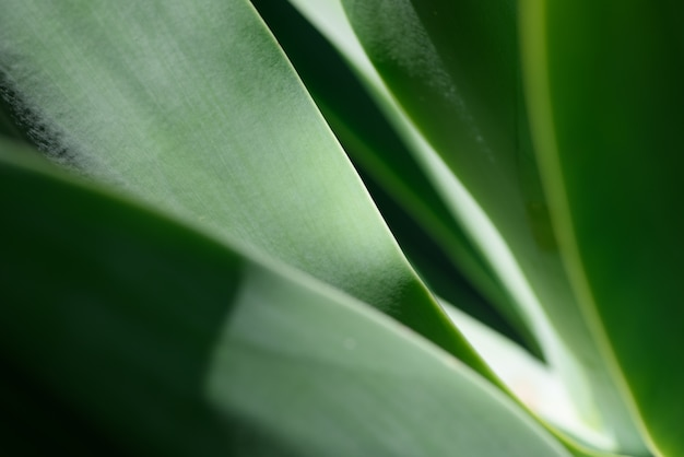 Agave leaf background