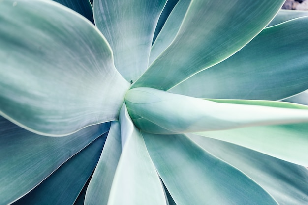 Agave leaf texture background