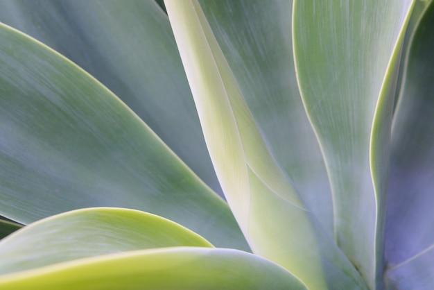 Agave leaf texture background