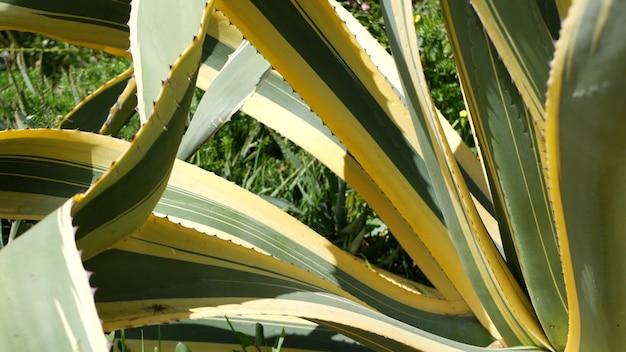 용설란은 캘리포니아에서 즙이 많은 원예를 남깁니다 미국 가정 정원 디자인 유카 세기 식물 또는 알로에 자연 식물 장식 멕시코 관엽 식물 사막 건조 기후 장식 화초 재배