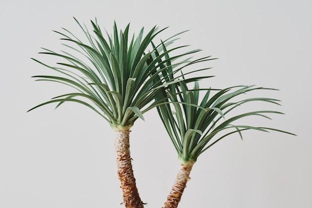 회색 배경에 용설란 야자수 식물