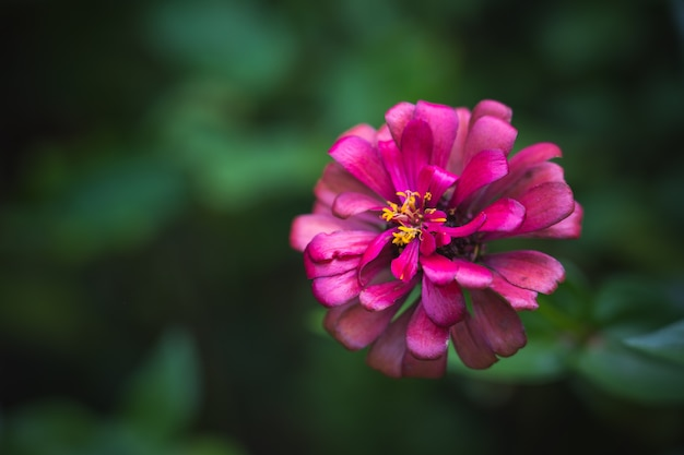 Age pink common zinnia (zinnia elegans) in garden with space for putting text, lowkey