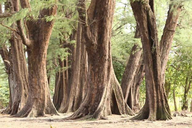 オーシャンビーチからの風に逆らって熟成した松林、抽象的な外観の樹皮、枝と木の体、常緑のカジュアリーナequisetifolia。