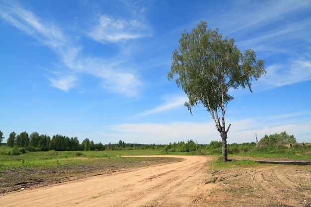 Aging birch near rural road
