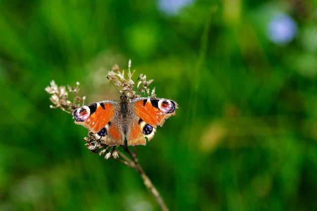 An aglais io, a well known and colorful butterfly of the nymphalidae family, inhabitant of the temperate zones of europe and asia.