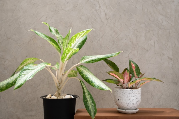 시멘트 벽 배경으로 나무 테이블에 현대적인 흰색과 검은 색 세라믹 용기에 aglaonema houseplant (chinese evergreen)