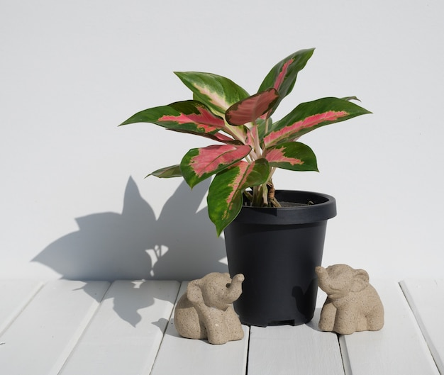 Aglaonema houseplant(chinese evergreen) in modern black   container and elephants statue  on white wood table wall surface with long shadow