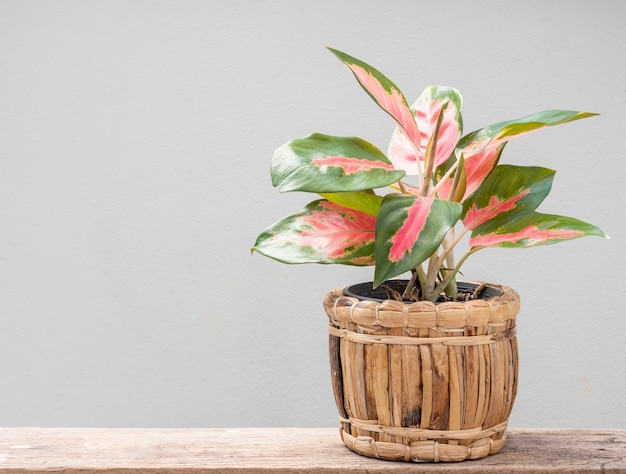 Aglaonema houseplant(chinese evergreen) in vegetable slap  container  on grunge wood table with cement wall background